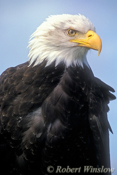 Bald Eagle (Haliaeetus leucocephalus), Controlled Conditions