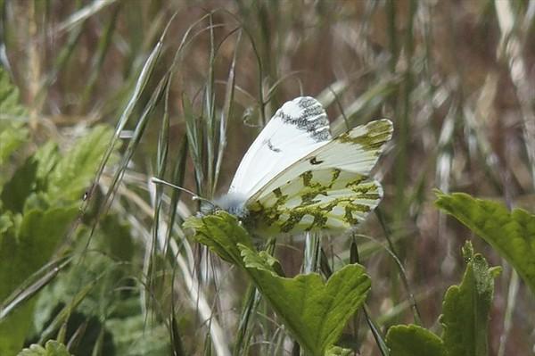 California MarbleEuchloe hyantis