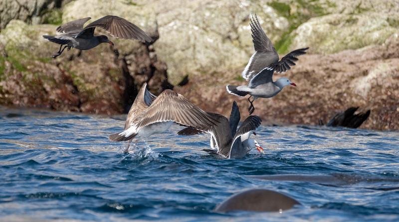 Hermann's gulls.