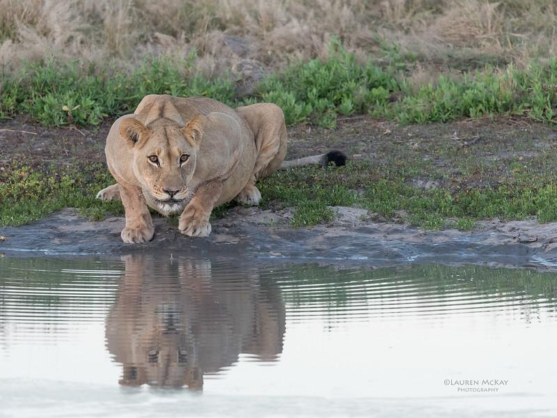 African Lion, Savuti, Chobe NP, Botswana, May 2017-39.jpg
