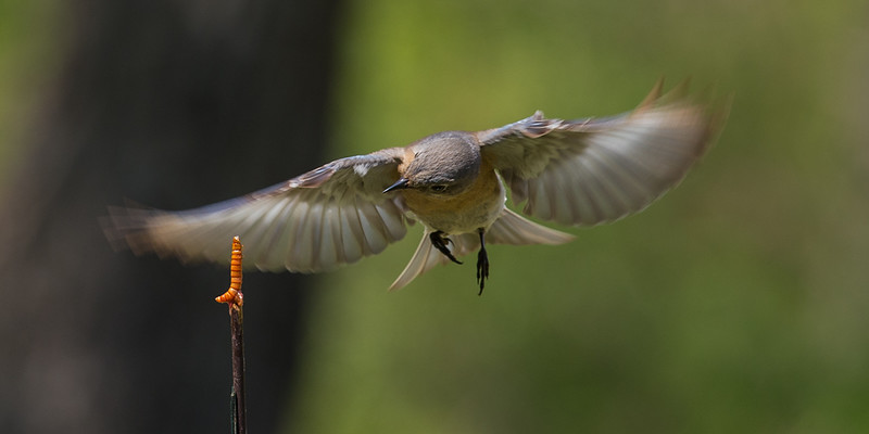 Robins in Flight