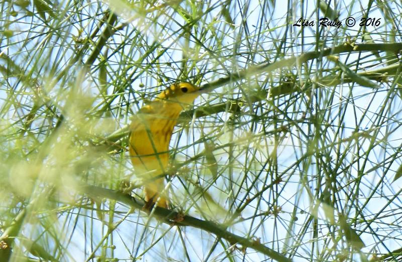 Yellow Warbler  - 5/26/2016 - Borrego Springs Roadrunner Club