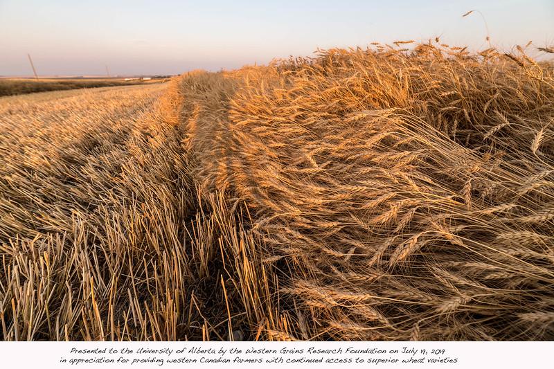 barley 52.jpg
