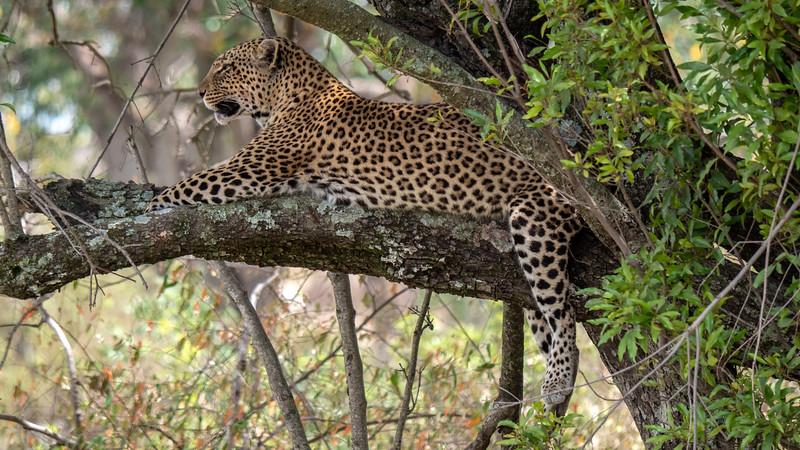 Tanzania-Serengeti-National-Park-Safari-Leopard-04.jpg