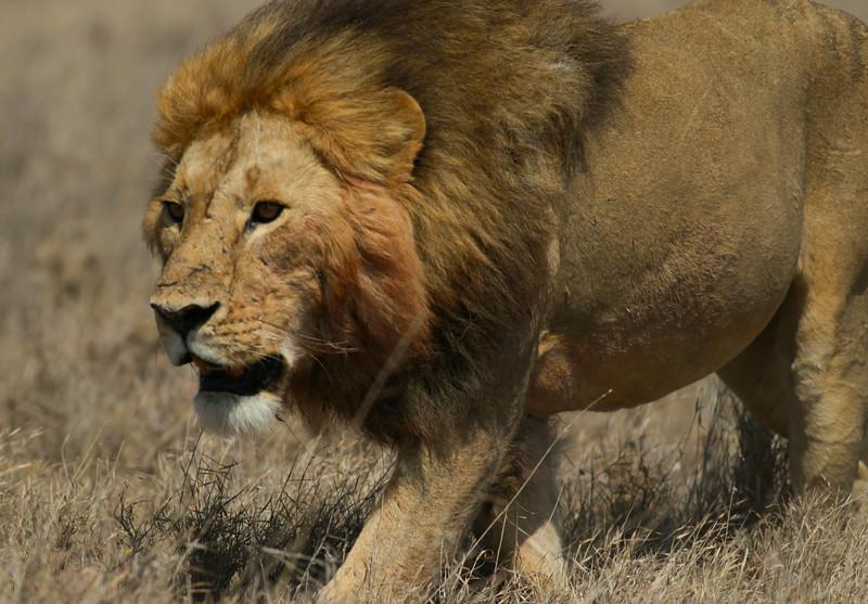 Lion Serengeti NP Tanzania  2014 07 11.JPG (7 of 8).JPG