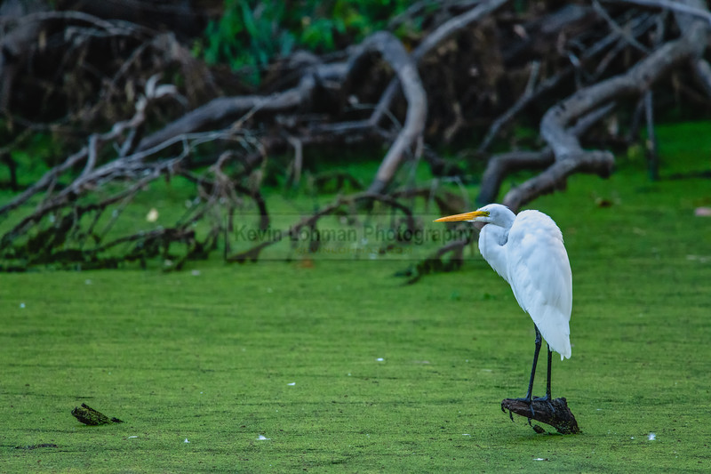 Great Egret Lookout