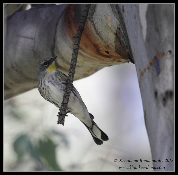 Yellow-rumped Warbler, Lake Jennings, San Diego County, California, January 2012
