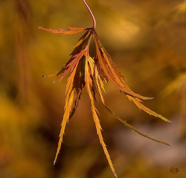 Japanese Maple Virdis. Nice green lace leaf all summer and then turns this spectacular copper color in fall. Should have gotten a shot of it this morning, wind came leaves dropped.