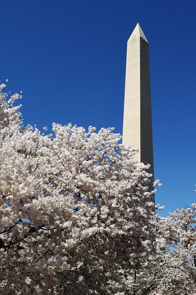 Cherry Blossom 2010