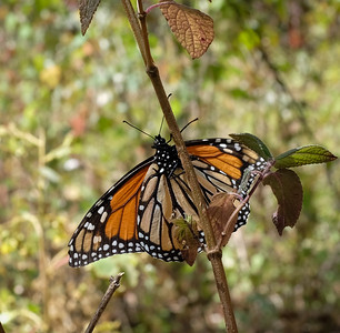 Monarchs in Mexico
