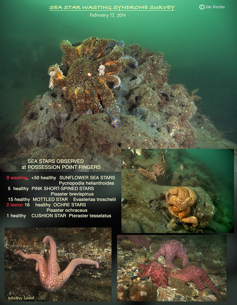 Sea Star Wasting Survey, Possession Point Fingers, Whidbey Island, February 17, 2014