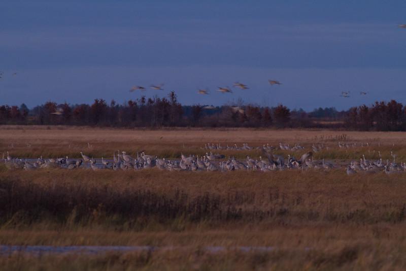 Sandhill Crane flock roosting at dusk Crex Meadows Grantsburg WI IMG_2283.jpg