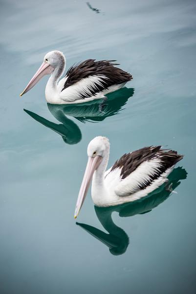 Pelicans01.jpg