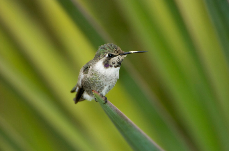 Humming Bird Perched 0522454