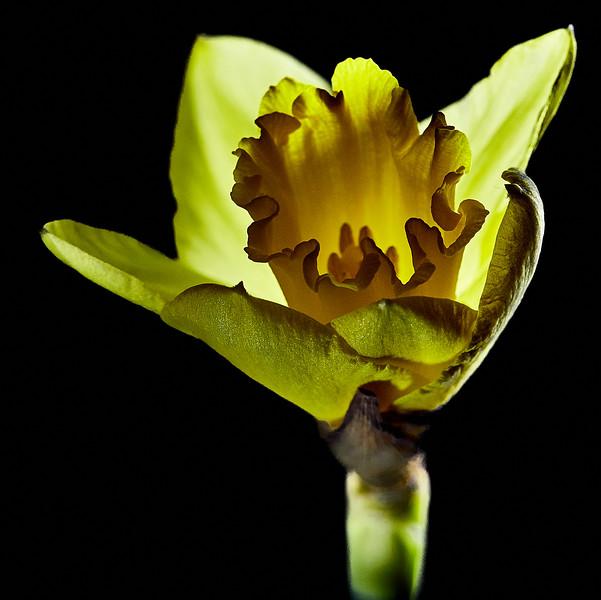 Day 50 - Daffodil-4020.jpg