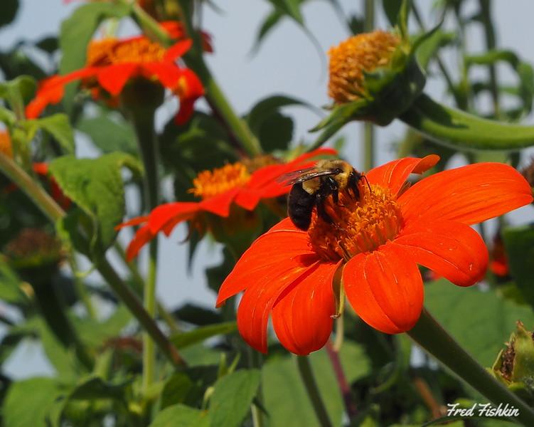 Gravity Hill bee Mexican sunflower.JPG