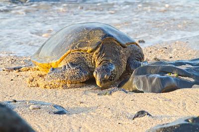 Honu (Turtles)