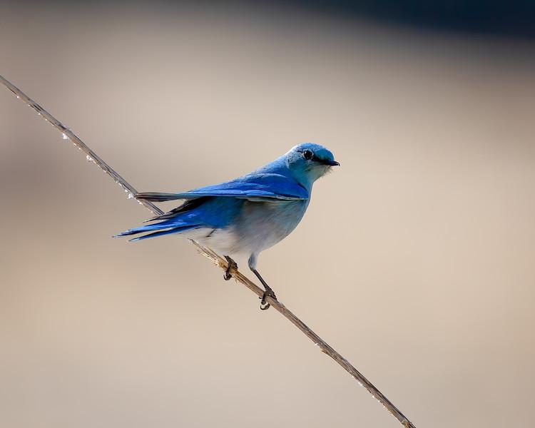 Mountain Bluebird-1.jpg