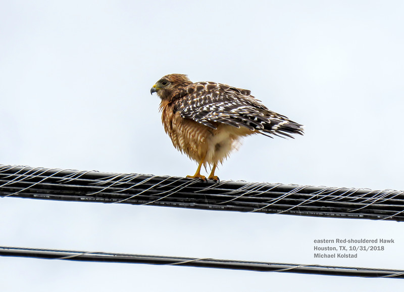 IMG_1730 3T eastern Red-shouldered Hawk.jpg