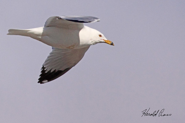 Ring-billed Gull