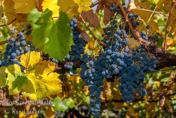 Merlot Grapes - Vitis vinifera