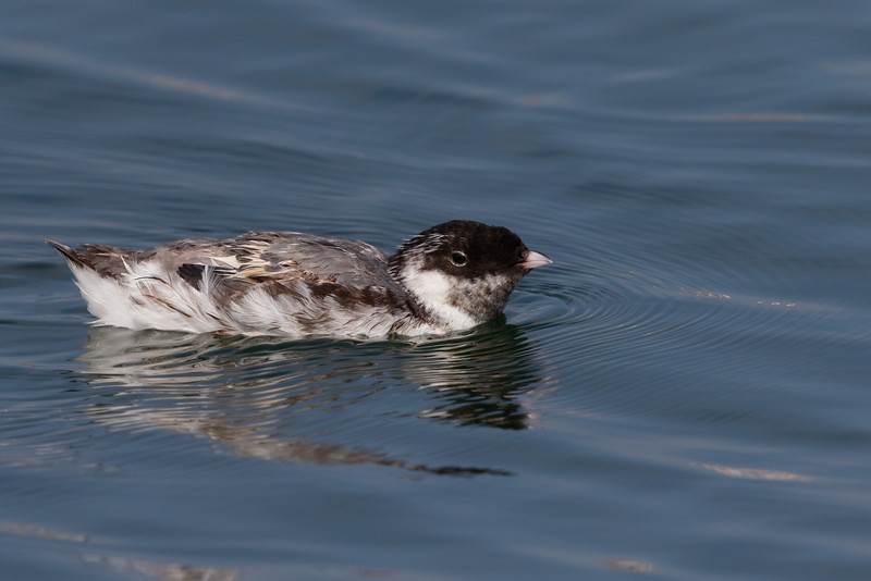 Ancient Murrelet