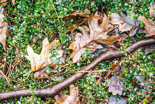 Oak leaves on the woodland floor