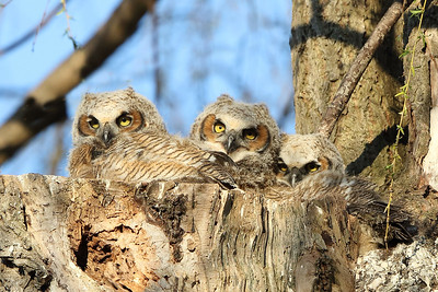 2017 Great horned owls nesting