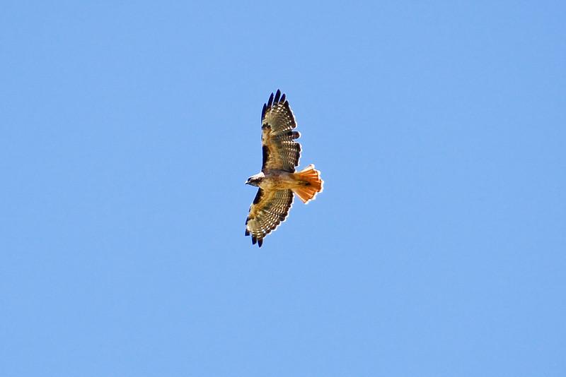 Hawk_082310_051.jpg
