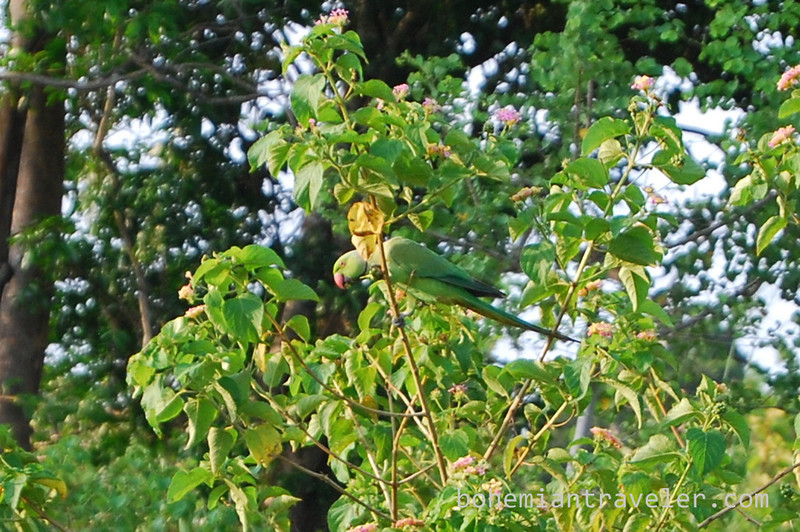 rose ringed parakeet.jpg