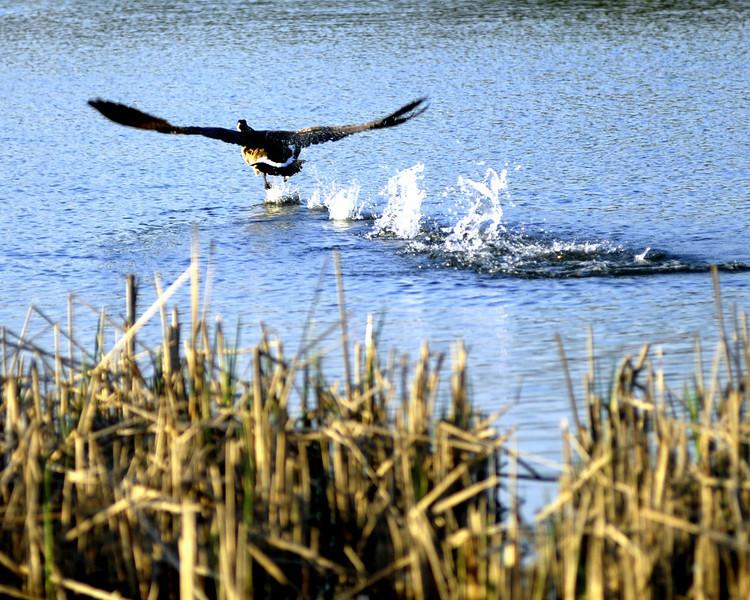 Running take off goose.jpg