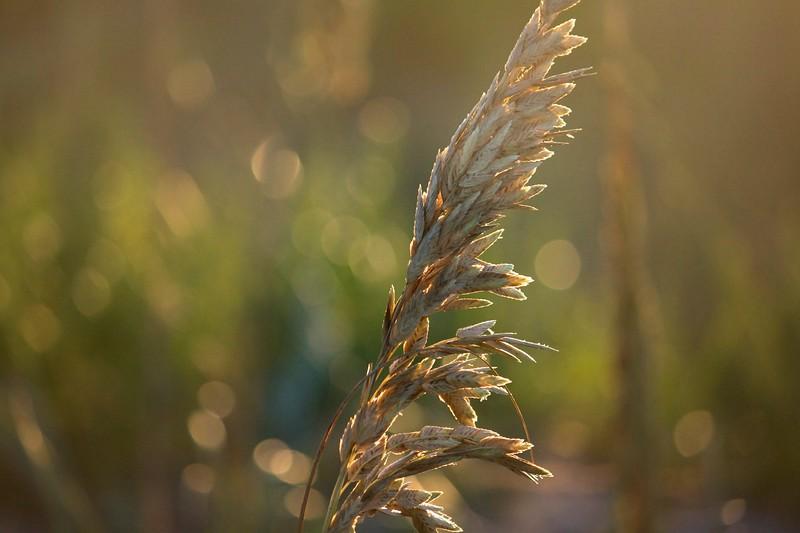sea oats in the evening sun