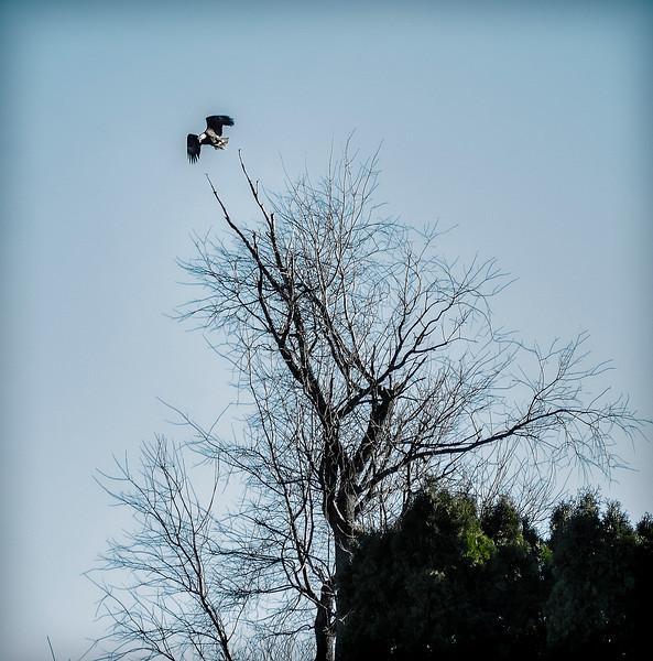 animal - eagle taking flight out back(p).jpg