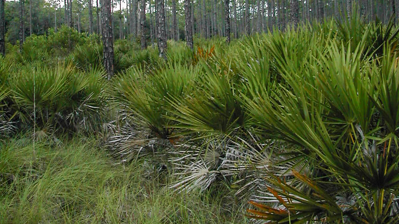 saw palmetto and pines