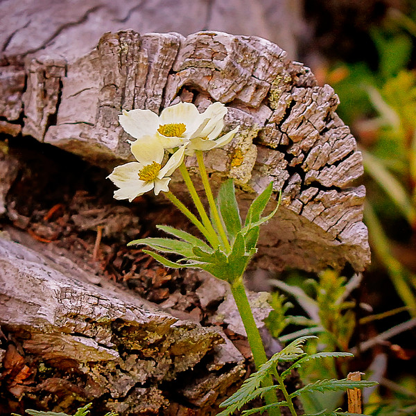 Wildflowerc.jpg