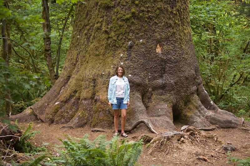 Big Cedar tree in Hoh Rain Forest