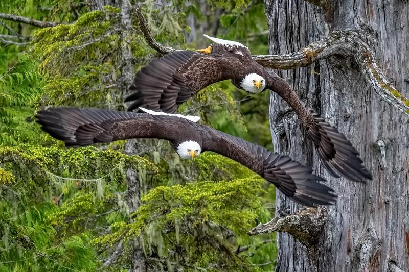DSC 8079 eagle double_d.jpg