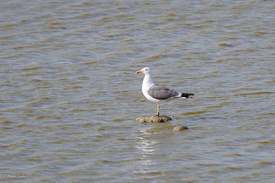 Gull, Yellow-legged