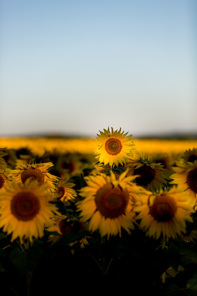 Mike Maney_Sunflowers-117.jpg