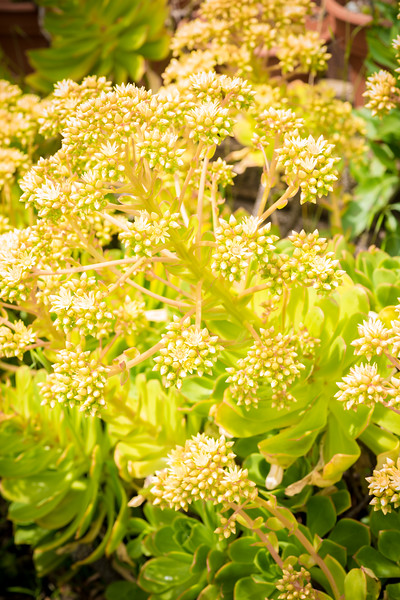 Aeonium arboreum DSC_1996.jpg