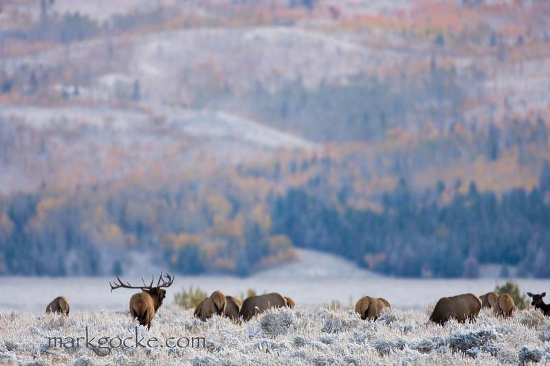 elkbugle-snow1-mg.jpg