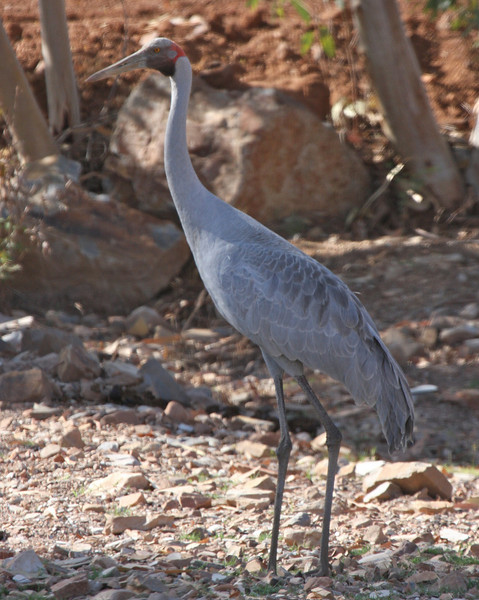GRUIDAE Cranes
