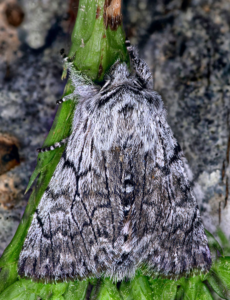 Connected Pleromelloida Moth
