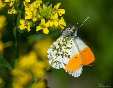 Sommerfugler /  Butterflies
