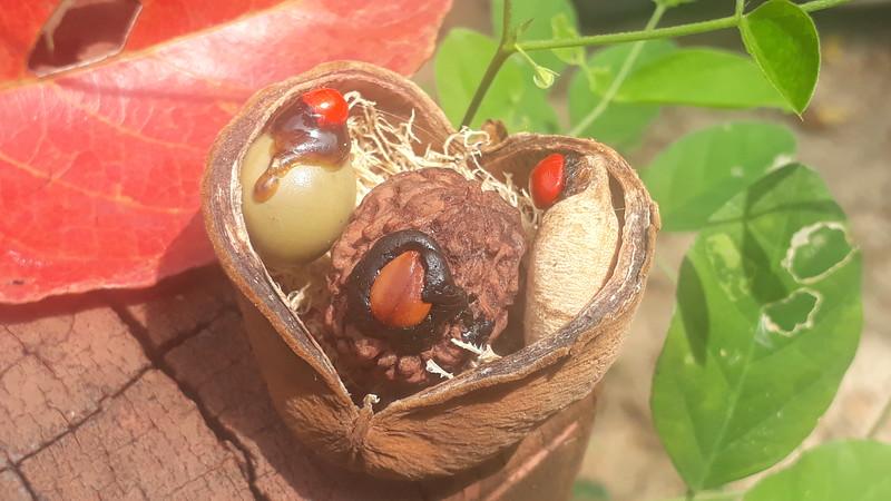 Rudraksha Uq-gift naturesamples 6 live seeds