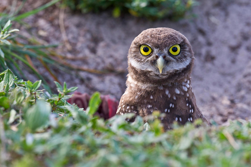 Young Burrowing Owl - Is The Coast Clear? Brian Piccolo Park Cooper City, Florida © 2013