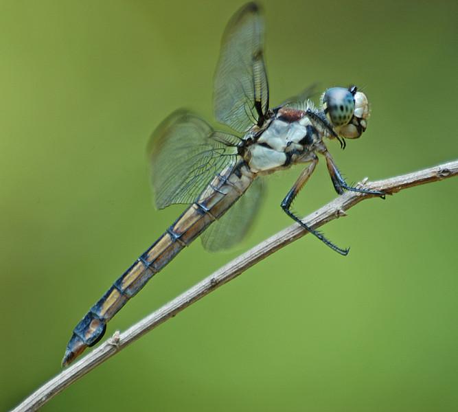 Libellula vibrans (Great Blue Skimmer), GA - female