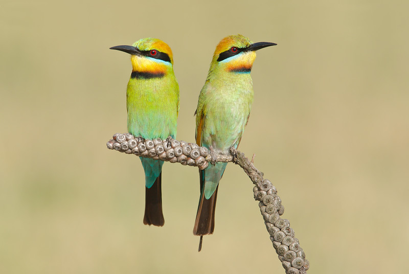 Rainbow bee-eaters 2.jpg