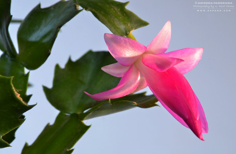 March Christmas Cactus