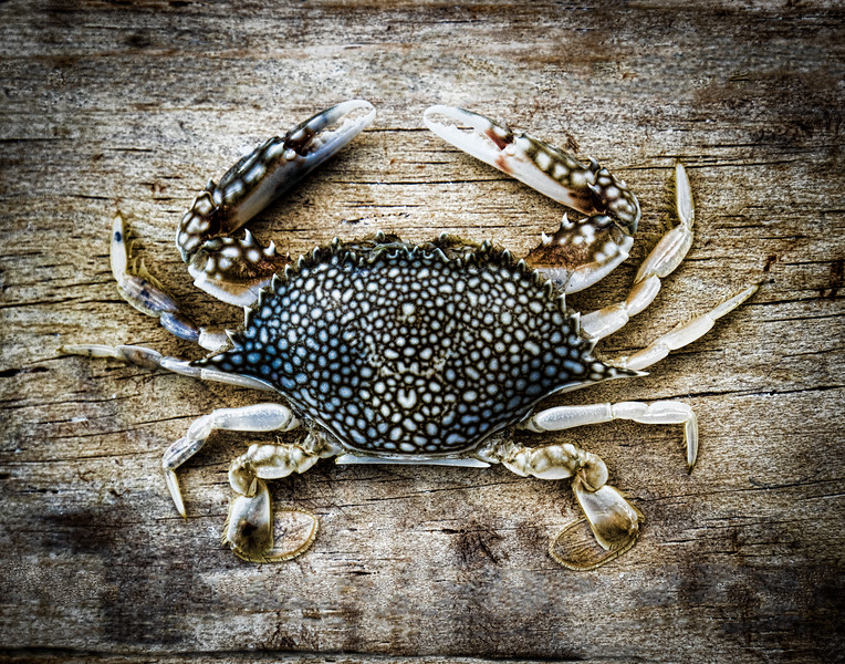 Spotted NC Crab.jpg